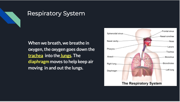 picture of lungs and respiratory system