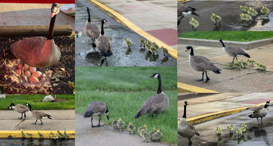 collage of our mama goose that laid her eggs at our school entrance